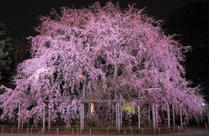 しだれ桜夜