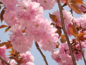 八重桜写真